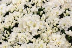 Азалия цветеня--Thon белая Зацветая куст рододендрона стоковое изображение
