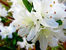 азалии белые Стоковая Фотография RF