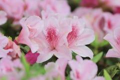 Азалия зацветая на дереве Стоковое Фото