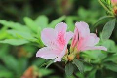 Азалия зацветая на дереве Стоковые Фотографии RF