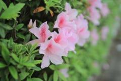 Азалия зацветая на дереве Стоковая Фотография RF