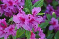 азалия цветет пинк стоковые фотографии rf