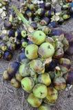 Азиатская ладонь пальмиры, ладонь Toddy, ладонь сахара Стоковые Фотографии RF