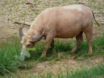 азиатская вода буйвола Стоковая Фотография RF