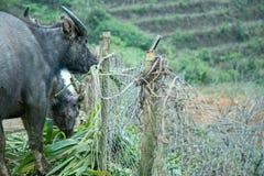азиатская вода буйвола Стоковое Фото