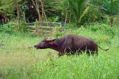 азиатская вода буйвола Стоковое фото RF