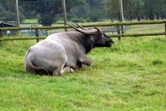 азиатская вода буйвола Стоковые Фото
