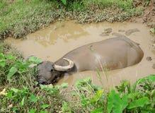 азиатская вода буйвола Стоковые Изображения RF
