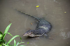 азиатская вода монитора ящерицы Стоковые Изображения RF