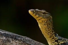 азиатская вода монитора ящерицы Стоковое фото RF