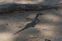 азиатская вода монитора ящерицы Стоковое Изображение RF