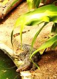 азиатская вода монитора ящерицы Стоковое Изображение