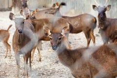 Азиатская группа оленей Стоковые Изображения