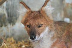 Азиатская дикая собака Стоковое Фото
