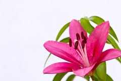Азиатская лилия Стоковая Фотография RF