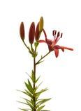 азиатская лилия Стоковое Фото