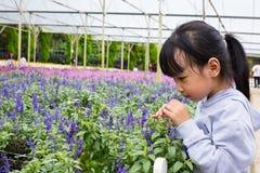 Азиатская китайская маленькая девочка играя рядом с полем лаванды Стоковая Фотография