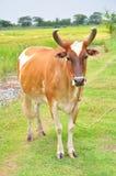 азиатская коричневая корова Стоковые Изображения RF