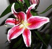 азиатская лилия цветеня Стоковые Фото