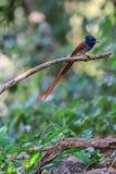 Азиатская мухоловка рая садясь на насест на ветви Стоковое фото RF