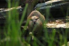 Азиатская небольшая царапнутая выдра смотря камеру Смотреть через траву на небольшом животном которое очень опасно и атаковать стоковая фотография