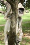 Азиатская обезьяна, Шри-Ланка Стоковая Фотография
