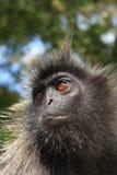 азиатская обезьяна Стоковые Изображения