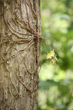 Азиатская орхидея призрака стоковые изображения rf