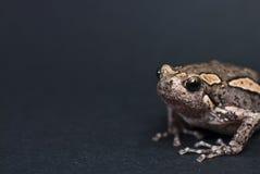 Азиатская покрашенная лягушка Стоковая Фотография
