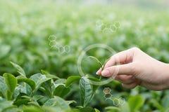 Азиатская рука женщины выбирая вверх листья чая от плантации чая стоковая фотография