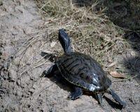 азиатская черепаха виска Стоковые Изображения RF