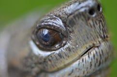 Азиатская черепаха leafe Стоковое Фото