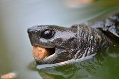 Азиатская черепаха leafe Стоковое Изображение RF