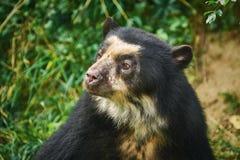 азиатская чернота медведя Стоковое Изображение RF