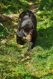 азиатская чернота медведя Стоковые Фото