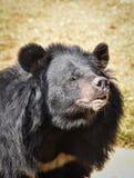азиатская чернота медведя Стоковое фото RF