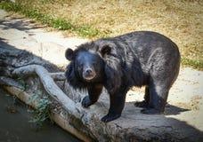 азиатская чернота медведя Стоковое Изображение
