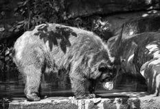 азиатская чернота медведя Стоковые Изображения