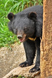 азиатская чернота медведя Стоковая Фотография