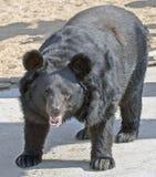 азиатская чернота медведя 2 Стоковая Фотография RF