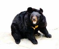 азиатская чернота медведя Стоковое Фото