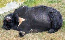 азиатская чернота медведя Стоковая Фотография RF