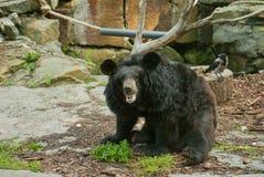 азиатская чернота медведя Стоковые Изображения RF