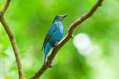 Азиатская Fairy синяя птица Стоковое Изображение RF