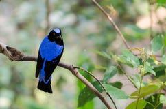 Азиатская Fairy синяя птица Стоковое фото RF