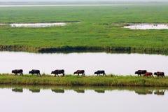 азиатские буйволы Стоковое Фото