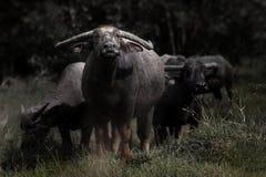 Азиатские буйволы Стоковое Изображение RF