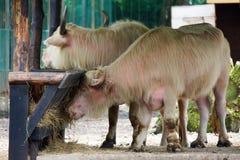 Азиатские буйволы watter Стоковые Изображения