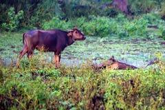 Азиатские индийский буйвол или bubbalis Bubbalus Стоковые Изображения RF
