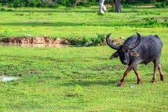 Азиатские индийский буйвол или bubbalis Bubbalus Стоковое фото RF